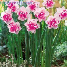 Bonsai Semillas De Plantas Acuáticas Doble Pétalos de Rosa Semillas Para El Jardín de Narcisos 100 Partículas/Lot Semillas de Flores Semillas