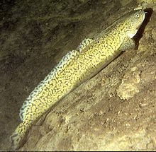 This is one of my favorite fish to eat. Burbot are invasive in southern Wyoming and have become a threat to native fish.