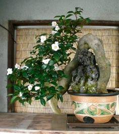 Gardenia Bonsai 8 Year Specimen | BB Bonsai | Pinterest | Bonsai And  Gardenias