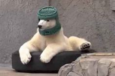 This Polar Bear Loves To Wear A Bucket On Her Head