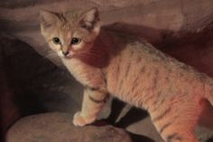 Kamilah and Chelbi are the new sand cats at the Rosamond Gifford Zoo at Burnet Park in Syracuse. Adrienne Whiteley, Animal Collection Manager, tells us about these wild cats on loan from the Cincinnati Zoo & Botanical Garden. Types Of Wild Cats, Sand Cat, Cincinnati Zoo, Wild Dogs, Cat Facts, Leopards, Predator, Big Cats
