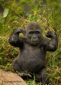 young gorilla showing off his newly forming muscles