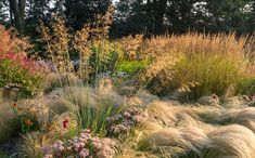 Jaap de Vries - what a matrix!  grasses first, flowers second! Stipa gigantea, nassella, and Karl Forester behind. Single plants of flowers studded like jewels.