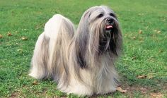 Everything you want to know about Lhasa Apsos including grooming, training, health problems, history, adoption, finding good breeder and more.