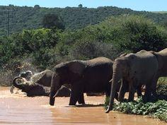 Happy Elephants enjoying the water at Sibuya Game Reserve. Kenton on Sea, Eastern Cape, South Africa www.sibuya.co.za Happy Elephant, Game Reserve, Horse Riding, Canoe, Elephants, South Africa, Swimming, Boat, Horses