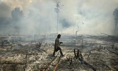 Tojo, Indonesia: A villager walks through a burnt forest after a slash and burn practice to open the land for agriculture. Photograph: Yusuf Ahmad/Reuters