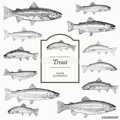 Vector: trout illustrations
