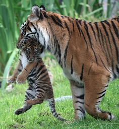 """""""...moms, even good ones, sometimes lose it a little so as not to lose it all."""" ― Susan Squire. [Siberian Tiger. #Endangered. Pinned by PartyTalent.com]"""