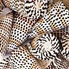 leopard cone...