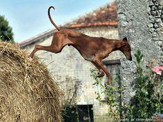 Hound Dogs Running Pharaoh Hound, Dog Runs, Hound Dog, Dogs Of The World, Moose Art, Horses, Athletes, Animals, Running