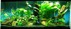 ... Animals Aquariums & Fish, Freshwater Pinterest Tropical Fish