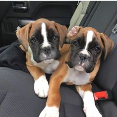 """Get fantastic suggestions on """"boxer puppies"""". They are actually available for you on our website. Boxer Pitbull, Boxer Puppies, Cute Puppies, Cute Dogs, Dogs And Puppies, Doggies, Boxer Breed, Boxer And Baby, Boxer Love"""