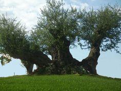 1000 Jahre alter Olivenbaum