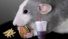 Photo about A baby dumbo rat is eating a fast food meal. Image of humorous, soft, fries - 10190986 Rat Food, Junk Food, Eating Fast, Binge Eating, Chur, Rata Dumbo, Mcdonalds, Getting Rid Of Rats, Dumbo Rat