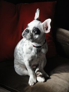 Frenchie named Judy!