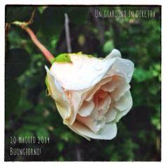 In diretta dal giardino: buongiorno! 238/365  un bocciolo di rosa Sombreuil, buongiorno giardinieri!  #giardino #giardinoindiretta #rose #fiori