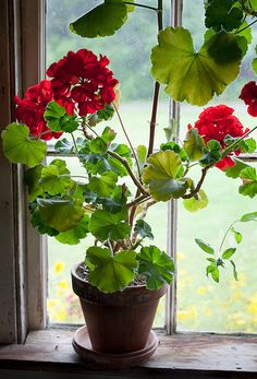 Geraniums in the window on a rainy day. Photographer: John Bald.