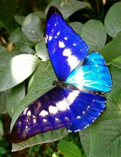 Morpho cypris bugaba www. Butterfly Kisses, Butterfly Flowers, Blue Butterfly, Butterfly Wings, Beautiful Bugs, Beautiful Butterflies, Beautiful Creatures, Animals Beautiful, Types Of Butterflies