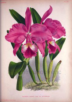 antique french botanical print pink orchids cattleya labiata illustration DIGITAL DOWNLOAD