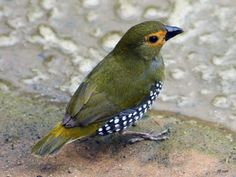 Wow, what a great looking bird.  It reminds me of the McKenzie-Childs decorating style.  Green-backed Twinspot