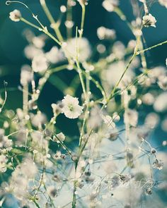 White Babys Breath flowers with Blue Background