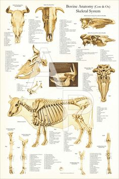 Anatomy Bones, Skull Anatomy, Skeleton Anatomy, Animal Anatomy, Dog Anatomy, Anatomy Drawing, Large Animal Vet, Large Animals, Cow Skeleton
