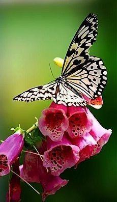 Beautiful Bugs, Beautiful Butterflies, Beautiful Flowers, Butterfly Kisses, Butterfly Flowers, White Butterfly, Pink Flowers, Butterfly Wings, Floral Vintage