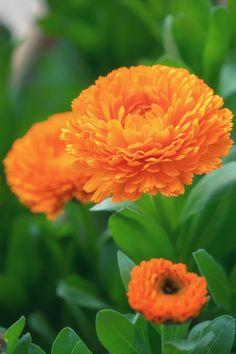 garden marigold. :) キンセンカ G+モーニング!(´∀`)…