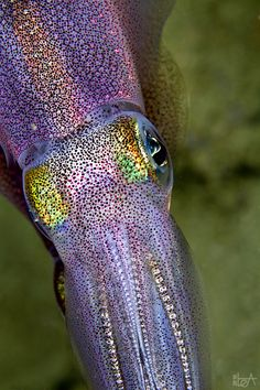 Squid by Lea Lee Photography
