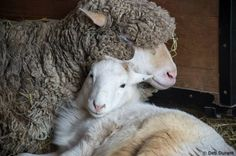 Sheep Who Was Dumped For Being Too Old Helps Other Animals Now