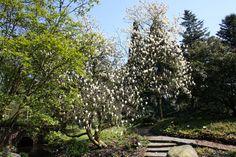 Magnolien im Botanischen Garten, Hamburg, Foto Birgit Puck
