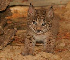 Tribute to the worlds most endangered Cat- Iberian Lynx - Imgur
