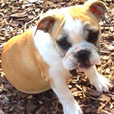 Stella - mini English bulldog