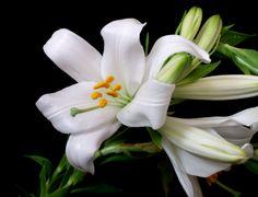 Lilium | Description Lilium candidum, Tunisia - 20110517.jpg