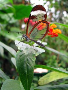 Glass wing butterfly at London Zoo