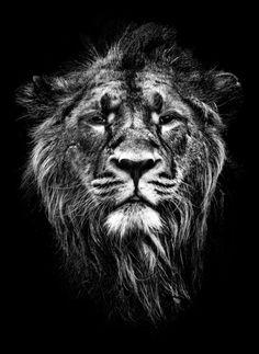 male asiatic lion Art Print