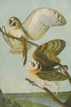 John James Audubon ~ Barn Owls