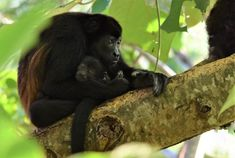 A howler monkey at Sibu Sanctuary in Nosara, Costa Rica Monkey Habitat, Baby Jaguar, Animal Rescue Center, Sibu, Nosara, Primates, Amphibians, Central America, Natural World