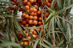 Rokitnik od niedawna robi furorę. Kto go pozna – zaczyna stosować. Dlaczego? Ponieważ to roślina wyjątkowa i o fenomenalnych właściwościach. Rokitnik zawiera w sobie bowiem ponad 190 aktywnych biol… Geraniums, Good To Know, Flora, Spices, Beans, Vegetables, Cooking, Health, Cud