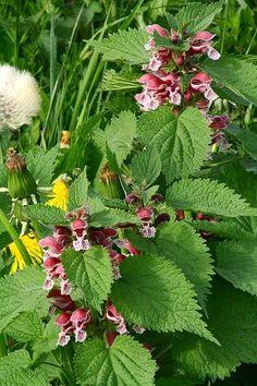 Lamium orvala (dovennetel). Vormt mooie ronde pollen zonder uitlopers die gaan woekeren. Maar pas op: hij maakt enorm veel zaad dat makkelijk op komt.