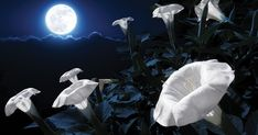 Plant Your Own Magical Moon Garden With Flowers That Bloom At Night – Stay Wil. Plant Your Own Magical Moon Garden With Flowers That Bloom At Night – Stay Wild Moon Child Hydrangea Petiolaris, Night Blooming Flowers, Blooming Plants, Night Flowers, Thyme Plant, Silver Plant, Water Lilies, Growing Plants, Yellow Flowers
