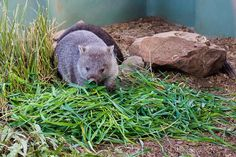 Meeting a wombat baby