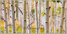 Aspen Impression | Flickr - Photo Sharing!   Deep in the Fishlake National Forest there lies a stand of aspens so large that it is claimed to be the largest single biological organism.  Termed the Heart os Aspen this grove is a wondrous dense forest that glows with color in the fall season. I always struggles with the enormous size of the forest  And felt an impressionistic approach might relay the sensation of being immersed in the dense forest.