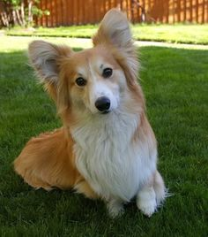 fluffy-lady corgi