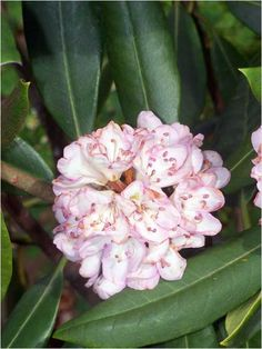 Rhododendron is a flowering plant found in the Appalachian Mountains from Maine to Georgia.