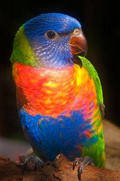Rainbow Lorikeet...