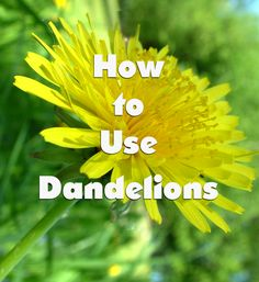 How to Use Dandelions as Food, Tea and Natural Medicine. Great for those of us who have tons of these in our yards and dont want to hose the lawn down with pesticides!