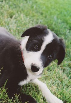 Zeke as a puppy!  <3 Short haired border collie.