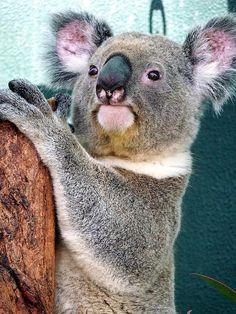 Koala by netwizz on Flickr.