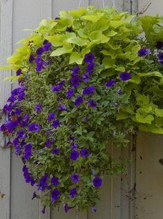 Lobelia and sweet potato vine - Bing Images